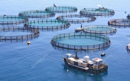 Aquaculture: several round fenced areas in the ocean, with a boat in the foreground and a man standing on a smaller boat or platform in the midground.